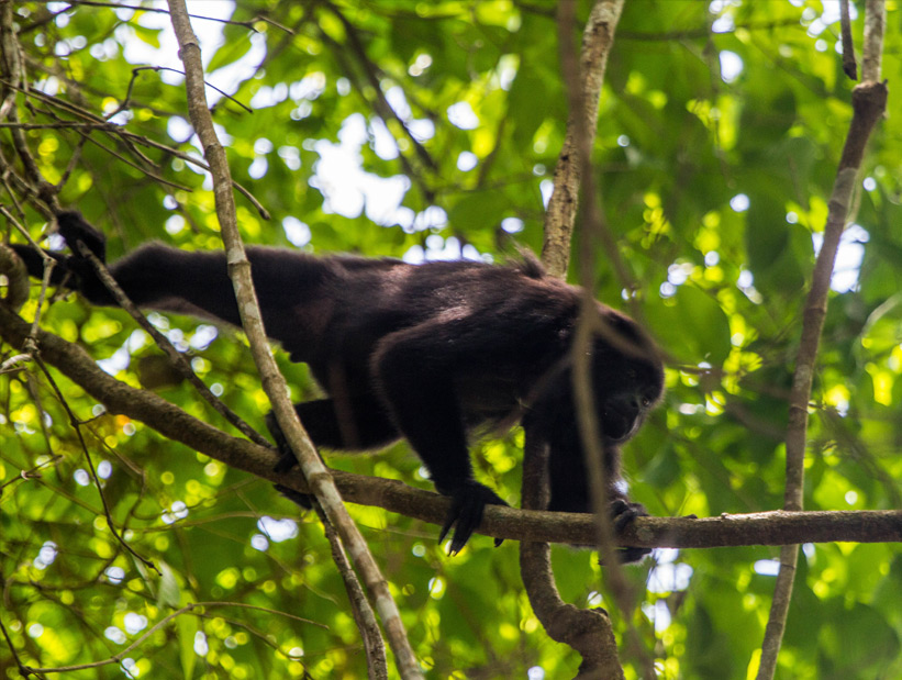 howler monkey at lamanai